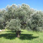 Η Ελληνική ελιά πρώτη σε προτίμηση των Αμερικανών